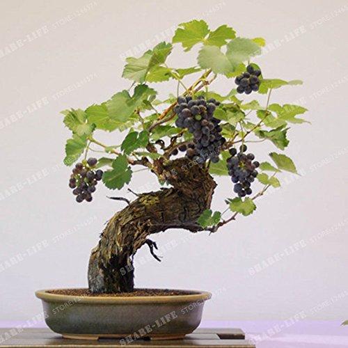 50 Seeds Miniature Grape Vine Seeds Vitis vinifera Organic Fruit Seeds Succulent Plants 8#32789145268ST