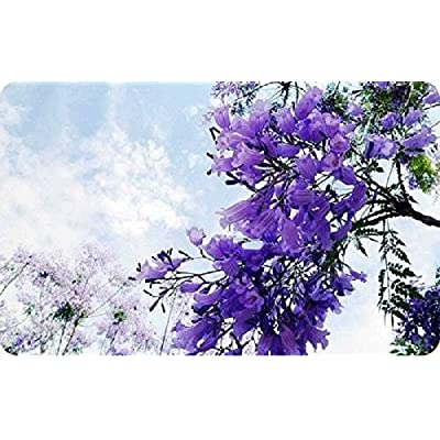 Blue Purple Jacaranda Jacaranda Mimosifolia Tree Shrub Heirloom 30 Bulk Seeds : Garden & Outdoor