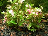"3 X Green Water Roses (Alternanthera Bettzickiana ""Aurea"") - Live Aquarium Plant"