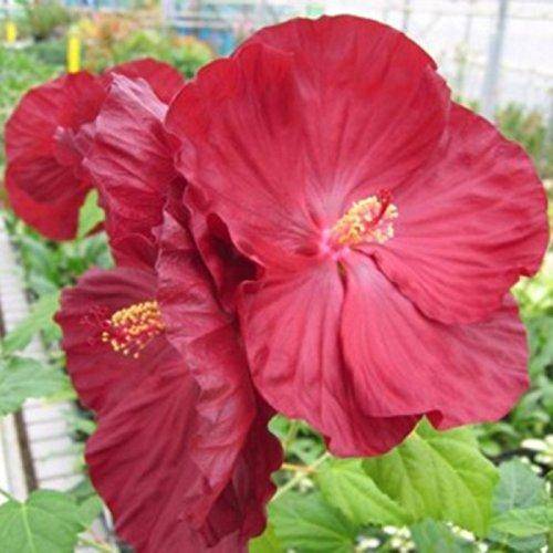 lichtnelke - Riesen-Hibiskus (Hibiscus moscheutos) Robert Fleming® Lichtnelke Pflanzenversand