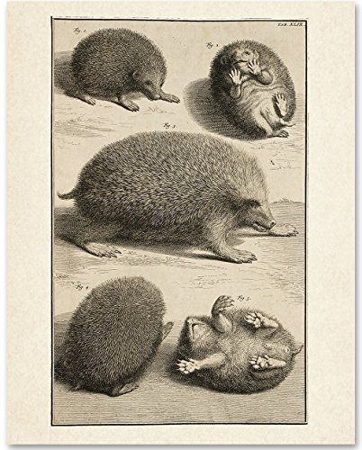 Hedgehog Illustration - 11x14 Unframed Art Print - Great Gift for Pet Owners - Hedgehog Print