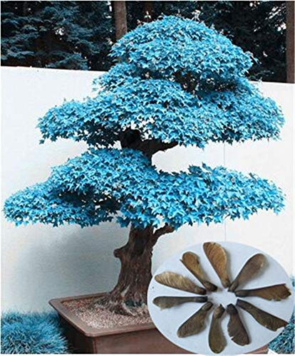 100/% Echte japanische Mini Maple Bonsai-Baum G/Ã/¼nstige Bonsai 20PCS Bloom Green Co Pack sehr sch/Ã/¶ne Indoor Baumgarten-Anlagen