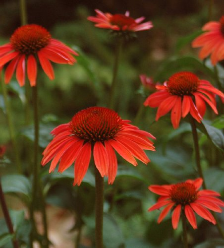 Big Sky Sundown Coneflower - Echinacea - Fragrant - Gallon (Big Sky Coneflower)