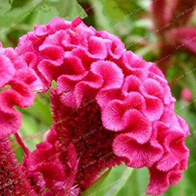 Kasuki 100 Pcs Cockscomb Flower Bonsai Rare Species Bonsai Flower Bonsai Cockscomb Bonsai Plant Garden Ornamental Flowers Mixed Colors - (Color: 3): Garden & Outdoor