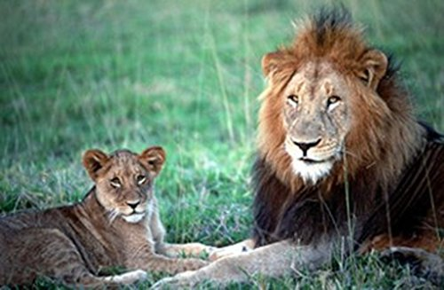 (Image Source International Lion and Cub Photo Art Print Poster 36x24 inch )