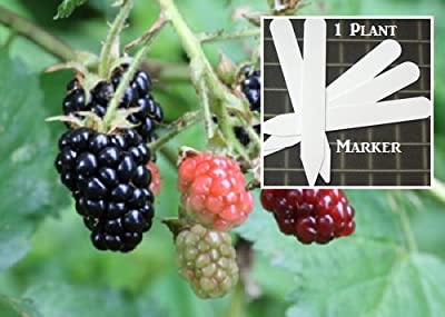 Organic Arapaho Erect Thornless Blackberry 300 Seeds Upc 646263362488 + 1 Free Plant Marker