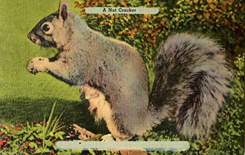A Nut Cracker - Squirrel Other Animals Original Vintage Postcard from CardCow Vintage Postcards