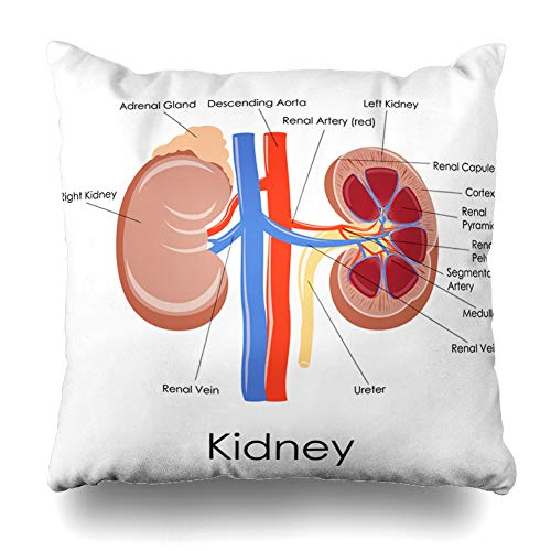 (Ahawoso Throw Pillow Cover Kidney Adrenal Diagram Human Anatomy Science Gland Urology System Urinary Section Design Cross Home Decor Pillowcase Square Size 20 x 20 Inches Zippered Cushion Case)