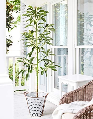 HASS Avocado Tree - Large Indoor/Outdoor Avocado Trees, Ready to give Fruit - Get Delicious Avocado Fruit Year Round from This Patio Fruit Tree - 3-4 ft. - Cannot Ship to AZ by Brighter Blooms (Image #2)