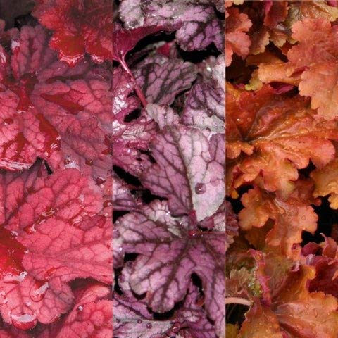 6 x Heuchera Autumn Leaves - BlackBerry Jam - Creme Brulee - Coral Bells XXL Plug Plants Carbeth Plants