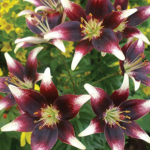 Burpee Netty's Pride Lily Asiatic Hybrid 3 Flowering Bulbs 14-16 cm Circumference