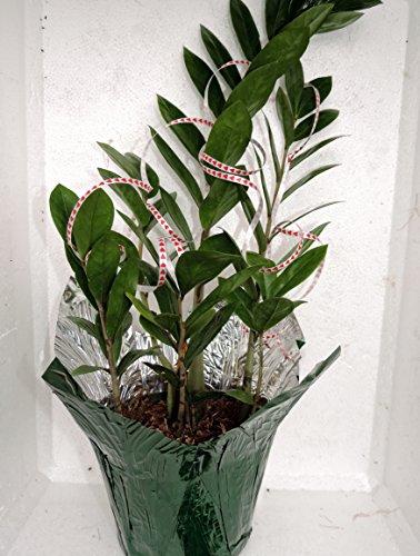 Valentine-cover decorative Rare ZZ Plant - Zamioculcas zamiifolia - Houseplant - 6' Pot-from jmbamboo
