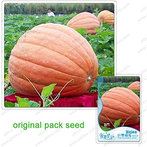6 Semillas / pack, semillas de calabaza gigante, semillas de ...