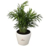 Costa Farms Neanthe Bella Parlor Palm, Live Indoor Window Sill-Shelf Plant in Scheurich Premium Home Decor 4.5-inch Ceramic Planter, Great for Gifts
