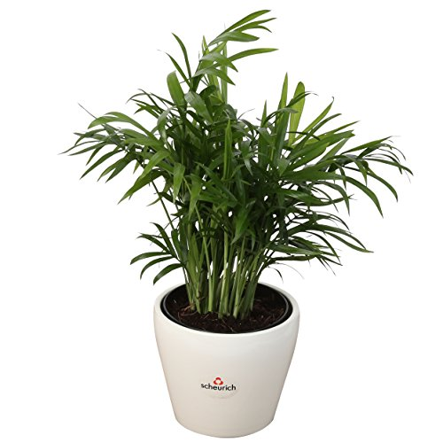 Costa Farms Parlor Palm, Neanthe Bella, Live Indoor Plant, Ships in 4-Inch White Décor Ceramic Planter, 12-Inches Tall, Fresh From Our Farm, Excellent Gift (Belle Farms)