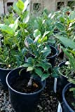 Bay Laurel Plant One Gallon