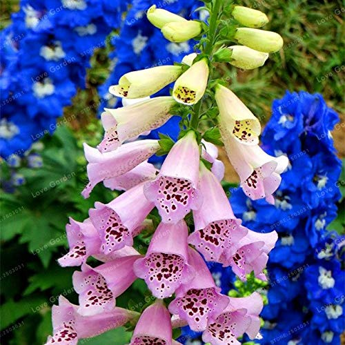 Rare foxgloves 50 Seeds Mix Colors Flower Seeds high Survival Rate for Home and Garden DIY Garden Plant