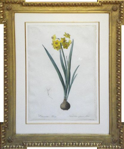 Lily Empress (Plate 17 - Narcissus Lazetta)