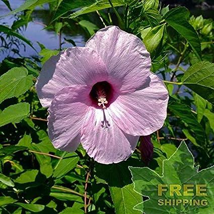 Amazoncom Rose Mallow Hibiscus Laevis 20 Seeds Free Sh