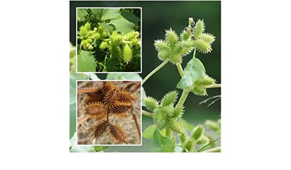 Amazon com : Xanthium strumarium 50 Seeds, Burweed