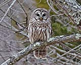 Barred Owl Photograph - Perched in a Tree -''Chilling Out'' - Bird Print - Animal Photography