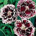 Park Seed Velvet 'n Lace Dianthus Seeds