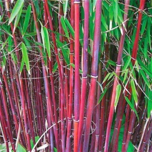(50 Rare Red Bamboo Seeds Privacy Plant Garden Clumping Exotic Shade)