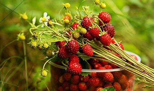 Wild Strawberries Organic Seeds Best Hybrid F1 Sweet Rare Everbearing up to 50 Seeds