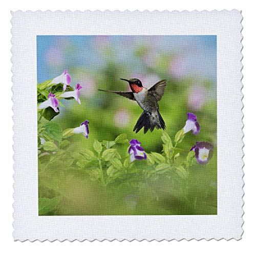 3dRose Danita Delimont - Hummingbirds - Ruby-throated Hummingbird male feeding on Wishbone flower, Texas, USA - 22x22 inch quilt square (qs_315052_9) ()
