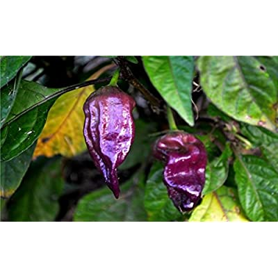20 seeds PURPLE Ghost Pepper Bhut Jolokia Extremely RARE Hot Spicy Heirloom : Garden & Outdoor