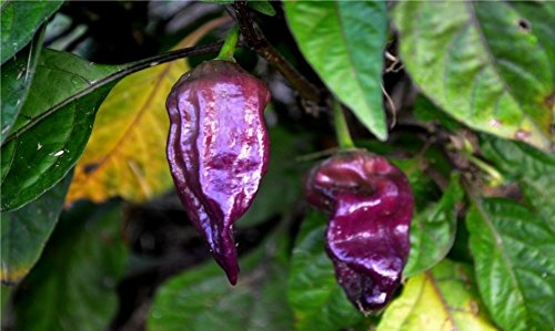 (20 seeds PURPLE Ghost Pepper Bhut Jolokia Extremely RARE Hot Spicy Heirloom)
