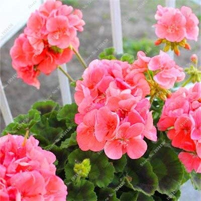 17: Semilla de geranio, Nuevas variedades de plantas de flores Semillas de bonsai, Jardín de decoración Las Vegas Balcón Planta de bricolaje Tohum en venta * 100 piezas/bolsa: Amazon.es: Jardín