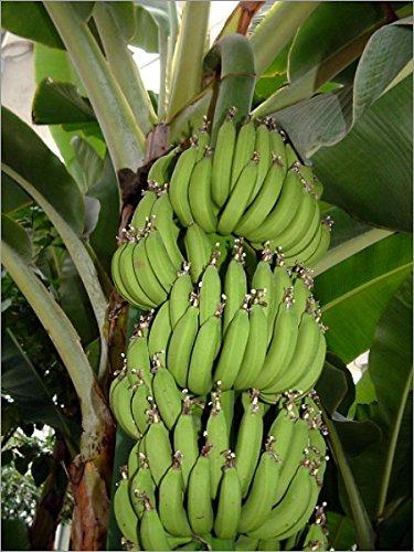 9GreenBoxs: Tropical Dwarf Cavendish Banana 5 Seeds - Musa acuminata Hirts: Seed; Tropical