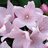 Platycodon grandiflorus Pink Flower Seeds from Ukraine