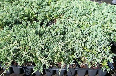 Sandys Nursery Online Juniper Blue Rug Ground Cover 1 Tray - 60 plants. Ideal for mass plantings and lining out stock. by Sandys Nursery Online