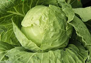 Tropicana cabbage (100 Seed) Grown all year round in subtropical climates !