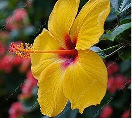 100 Pcs Sac Hibiscus Graines De Fleurs Géant Hibiscus Graines