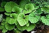 Petasites hybridus Butter Burr Huge Leaves! Seeds!