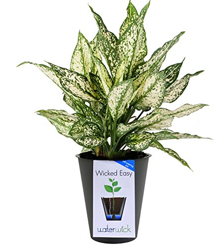 Costa Farms White Calcite Colorful Aglaonema (Chinese Evergreen) Live Indoor Plant in Self-Watering Waterwick Planter, Gray