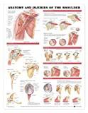 anatomical body parts - Anatomy and Injuries of the Shoulder Anatomical Chart