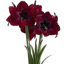 Black Pearl Giant Dutch Amaryllis - NEW COLOR - Large Bulbs