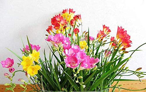 Mix Freesia Bulbs (4 Bulbs) Cute Charming Flowers Bonsai Decoration Bloom Graceful Garden Potted Essential
