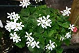 1-BULB OXALIS GREEN SHAMROCK WHITE FLOWERS Shade Plant House Plant
