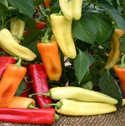 Budapest Hot Banana Hot Pepper Seeds - light yellow to bright red when mature. (100 - Seeds)