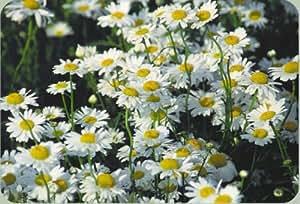 Ox-Eyed Daisy- Chrysanthemum- 100 Seeds