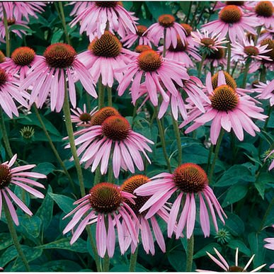 David's Garden Seeds Herb Echinacea Purpurea SL9821 (Purple) 200 Organic (Herb Farm Rose)