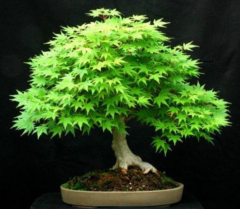 Fresh Green Japanese Maple (acer palmatum) 10 Seeds Bonsai Maple ()
