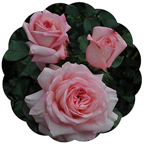 (Stargazer Perennials Savannah Rose Plant Potted   Reblooming Fragrant Hybrid Tea Salmon Pink Flowers   Own Root)