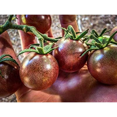 Tomato Black Cherry Purple Beautiful Black Cherries Look Like Large, Grape 25 +by AchmadAnam : Garden & Outdoor