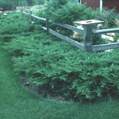 Kallay Juniper Qty 60 Live Plants Groundcover by Florida Foliage (Image #1)